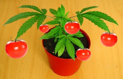 marihuana tomates