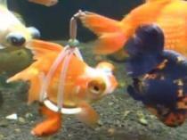 pez-discapacitado